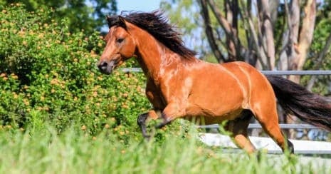 The Caspian Horse: A Caspian Horse running in paddock.