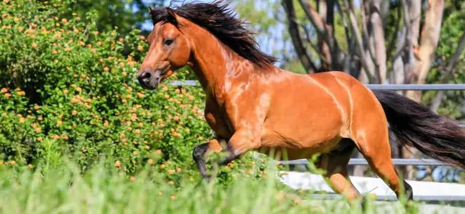The Caspian Horse: A Caspian Horse running in paddock.