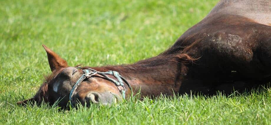 Brown horse sleeping, lying down in grass pasture. Sleep Deprivation in Horses