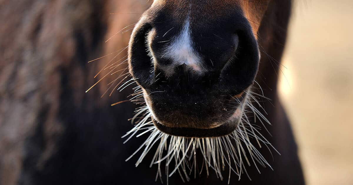 Horse muzzle with whiskers intact. France bans the trimming of whiskers.