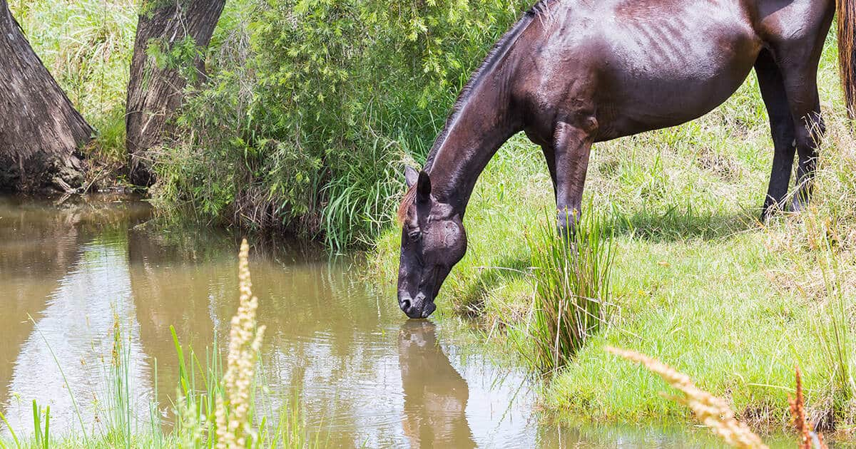 Brown horse drinking from creek. Building Resilience and Drought-proofing Your Horse Property