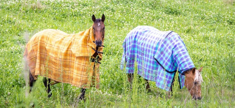Two rugged horses in lush pasture. effect of rugs on skin temperature. Horse core body temperature