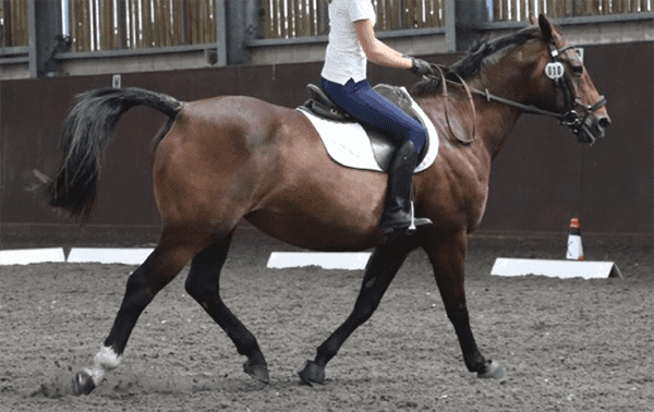 Front of head (profile) over 30 degrees in front of the vertical; ears behind vertical for  5 seconds; intense stare; hindlimb toe drag; tail swishing. Ridden-horse ethogram