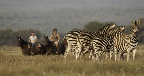 Horse and riders with a zebra herd. On horse safari.