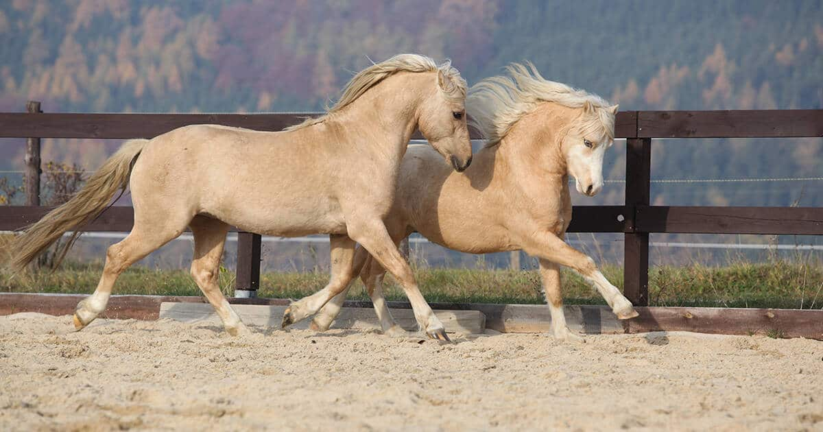 Best Horse Practices, 2 Palomino horses in arena. Horse welfare