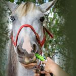 Grey horse with red halter being wormed with tube of worm paste. Horse worming guide