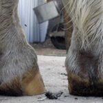 Horse hooves standing on concrete surface. No foot no horse