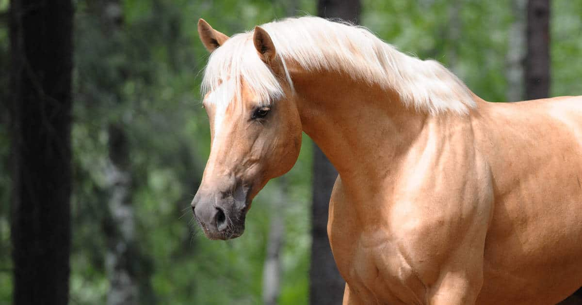 Palomino horse. Snorting and chewing helps horses calm down when stressed.
