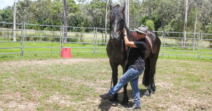 Woman working Friesian horse from ground. Starting Romeo Part 4 Shoulder Control