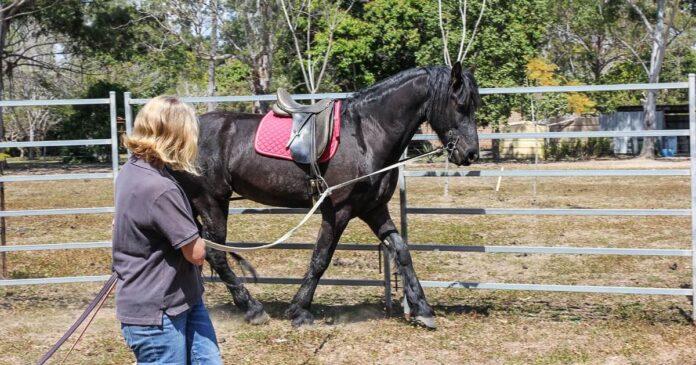Woman long-reining a young horse. long-reining as an alternative to lungeing