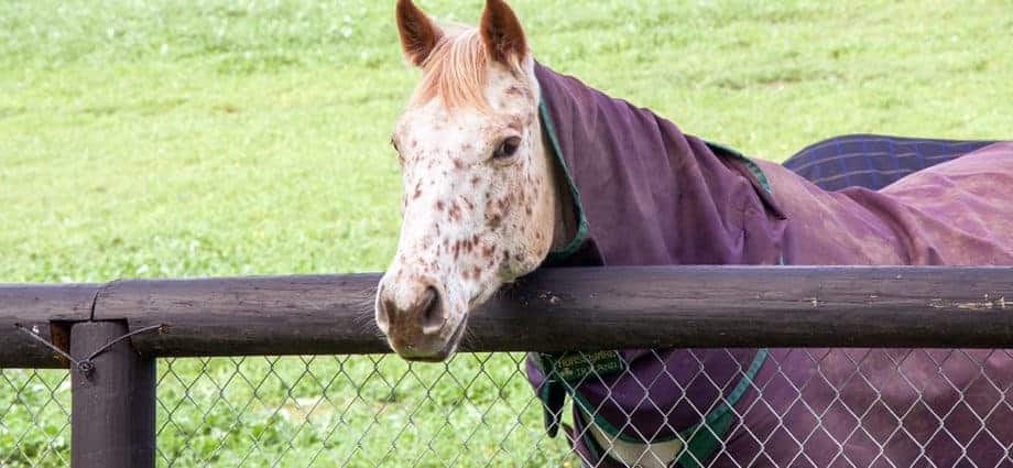 Horse in rug, with head over post and rail fence. The Science of Rugging Horses.