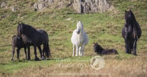 Fell pony herd