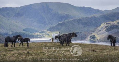 Cumbria's Fell Ponies. A herd of ponies