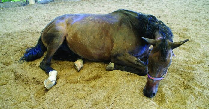 A horse with colic lying on sand. Colic in horses