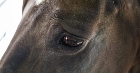 Muscle tension above the equine eye is a sign of pain in horses
