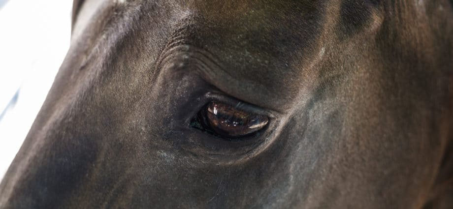 Muscle tension above the equine eye is a sign of pain