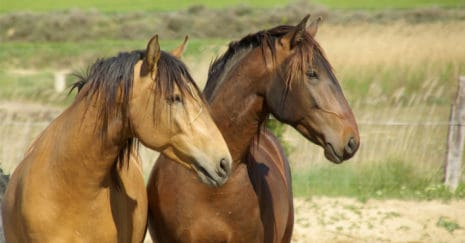 two horses together. horse behaviours, horse friends. African Horse Sickness outbreak may be a threat to Australian horses