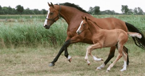 Breeding a foal, broodmare and foal