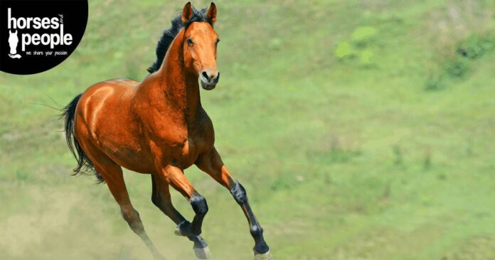 Bay horse cantering in paddock. Thoroughbred welfare. Horse Joints and Supplements