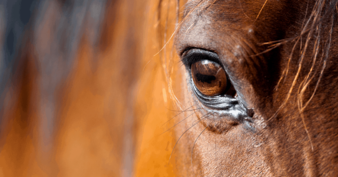 horse welfare. recognise signs of distress, racehorse slaughter