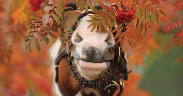 Smell, equine flavour preferences