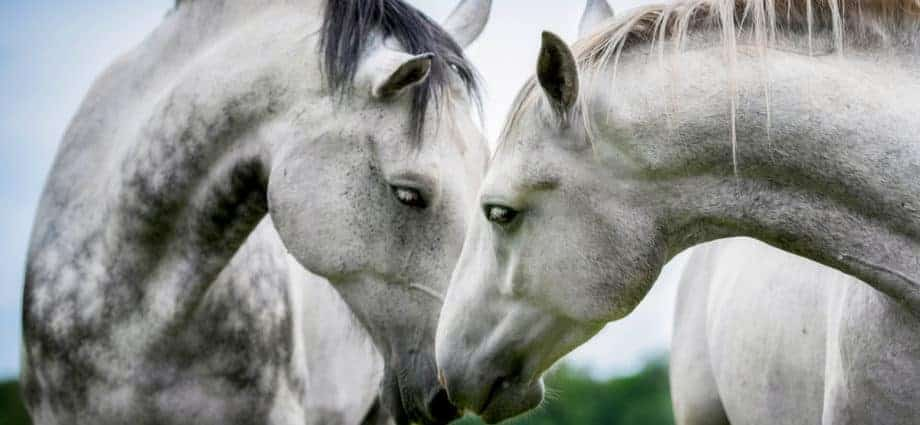 Two grey horses greeting each other. A good life. Breeding Thoroughbreds
