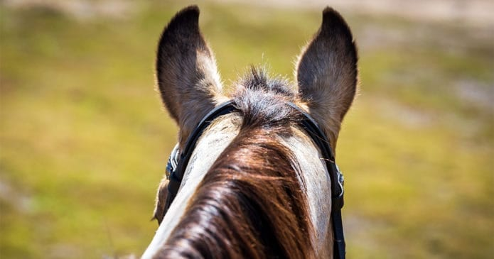 a view from the saddle of a horse's ears Australian horse register