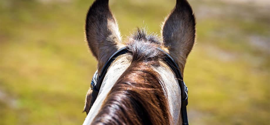 a view from the saddle of a horse's ears. Call for national horse register