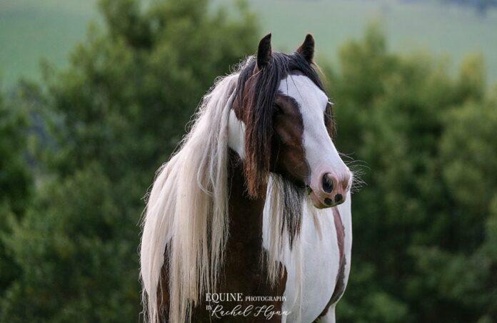 Gypsy Cob photo by Rachel Flynn Equine Photography