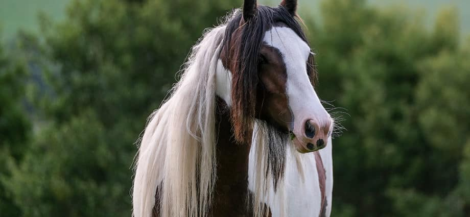 Gypsy Cob photo by Rachel Flynn Equine Photography