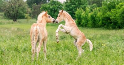 Two palomino foals playing in a meadow. The more they play the stronger the bones they will develop.