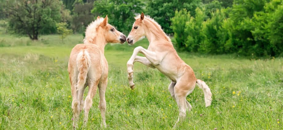 Two palomino foals playing in a meadow. The more they play the stronger the bones they will develop. Playtime Builds a Foal's Bones
