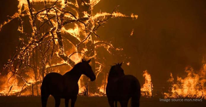 two horses stand as huge trees burn all around them in the 2020 Australian bushfires