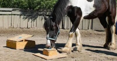 horses learned to open a box by watching a human. horses learn by watching people
