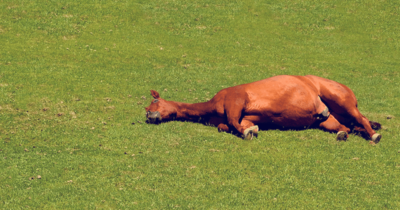a bay horse lying down in a field, in lateral recumbency. How do horses sleep?