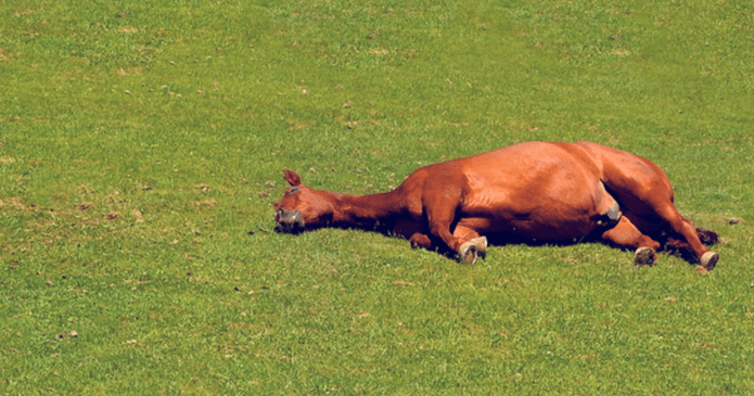 a bay horse lying down in a field, in lateral recumbency