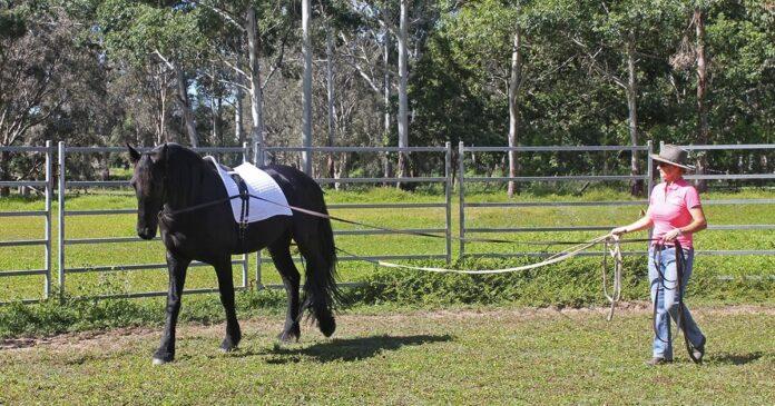 Kate Fenner long-reining Friesian horse. Long-reining