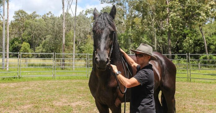 Kate Fenner doing ground work with young Friesian horse. Bridling and learning to give, learning to give in walk