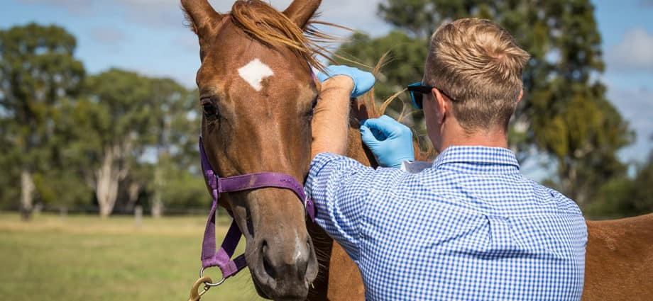 A veterinarian inserts a microchip into a young chestnut horse. Recognising stress in horses.