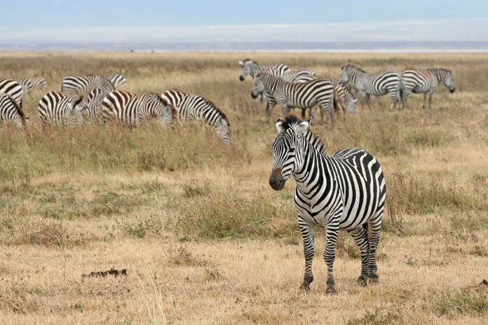 African horse sickness (AHS) is a highly infectious and deadly disease. It affects horses, mules, and donkeys. Zebras carry the disease but are rarely affected.
