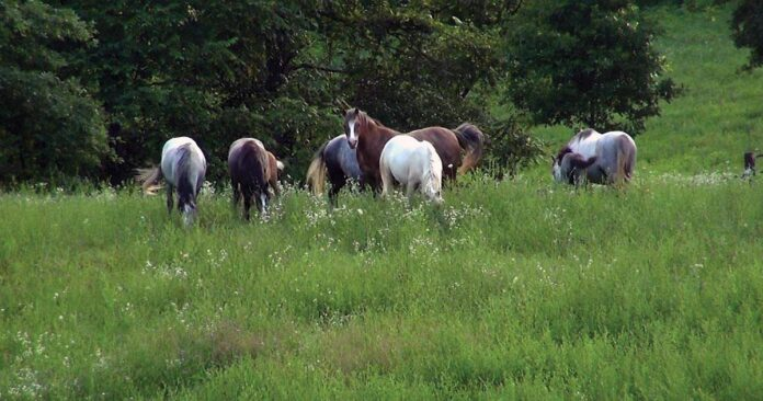 Ponies free on pasture in summer. Managing horses in family groups.