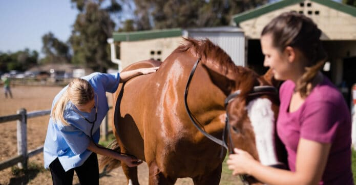 Vet with stethoscope checking horse, handler is holding horse's head in hands. Surviving colic
