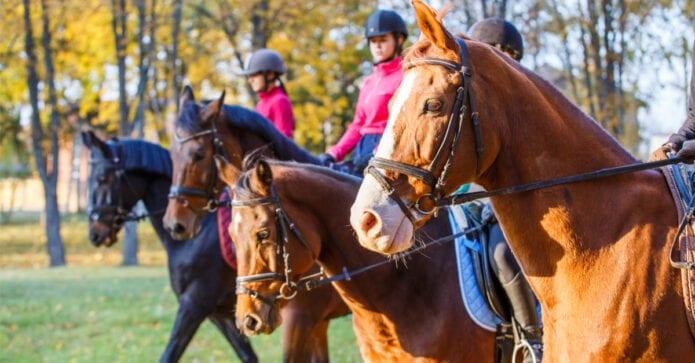 riders using nosebands
