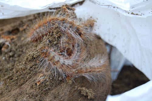 Hairy caterpillars nest