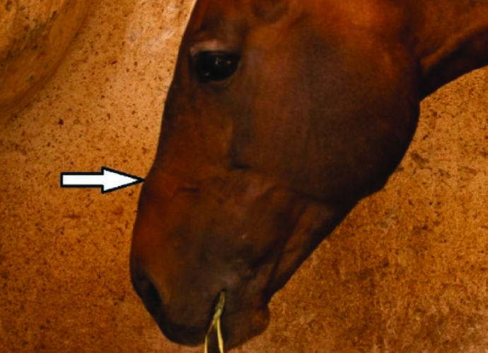 Bone damage at site of noseband