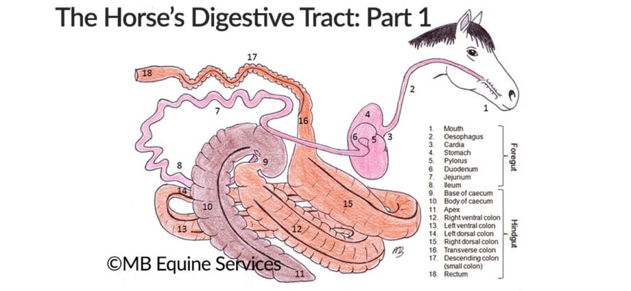 The horse's digestive system explained by MB Equine Services