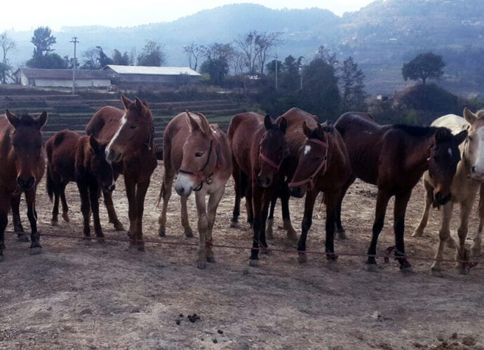 welfare of working equids at Nepalese brick kilns