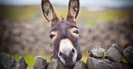 Donkeys have different heads to horses