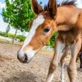 A curious foal investigates a novel object