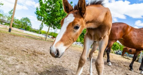 A curious foal investigates a novel object